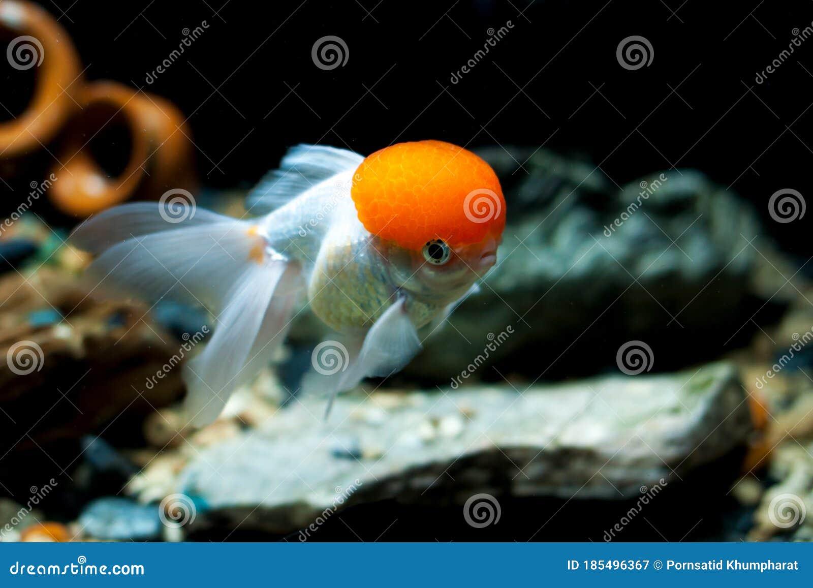 Cute Goldfish In The Aquarium Beautiful Pet Stock Image Image Of Design Aqua 185496367