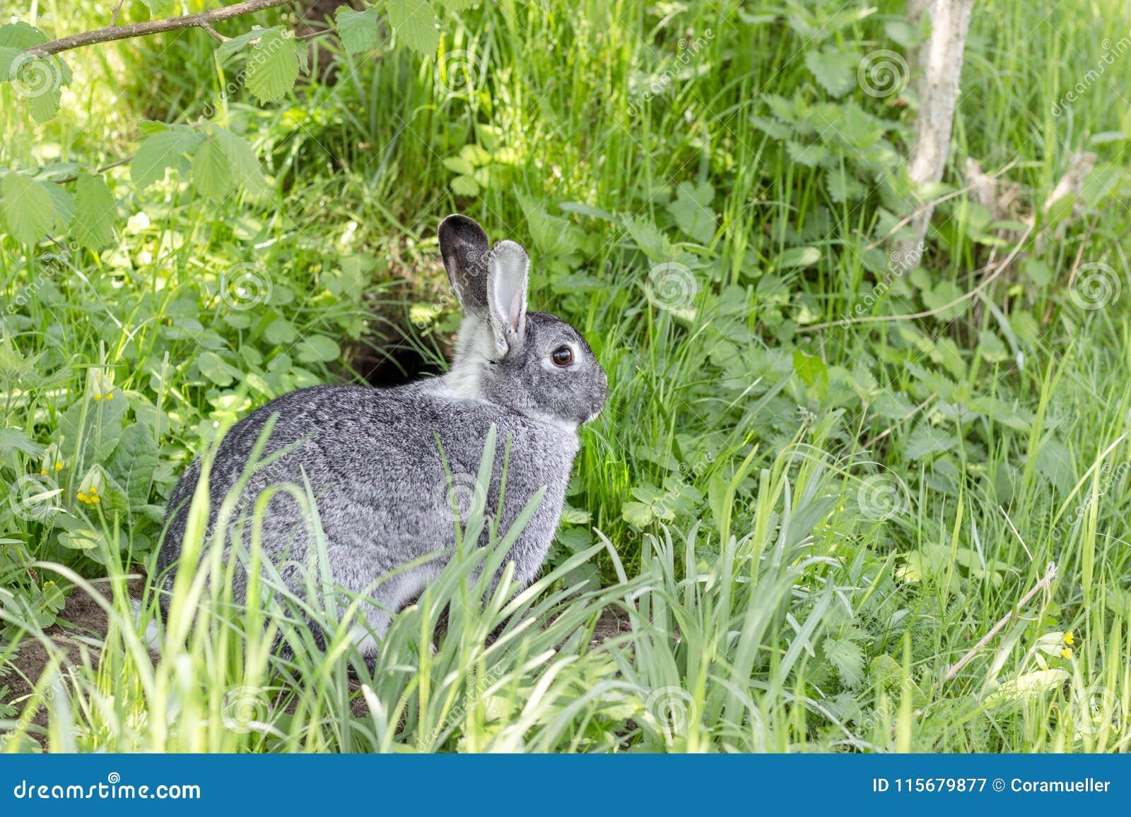 A cute gray chinchilla rabbit