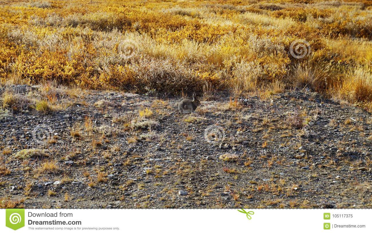 A cute gray hare sitting in the tundra