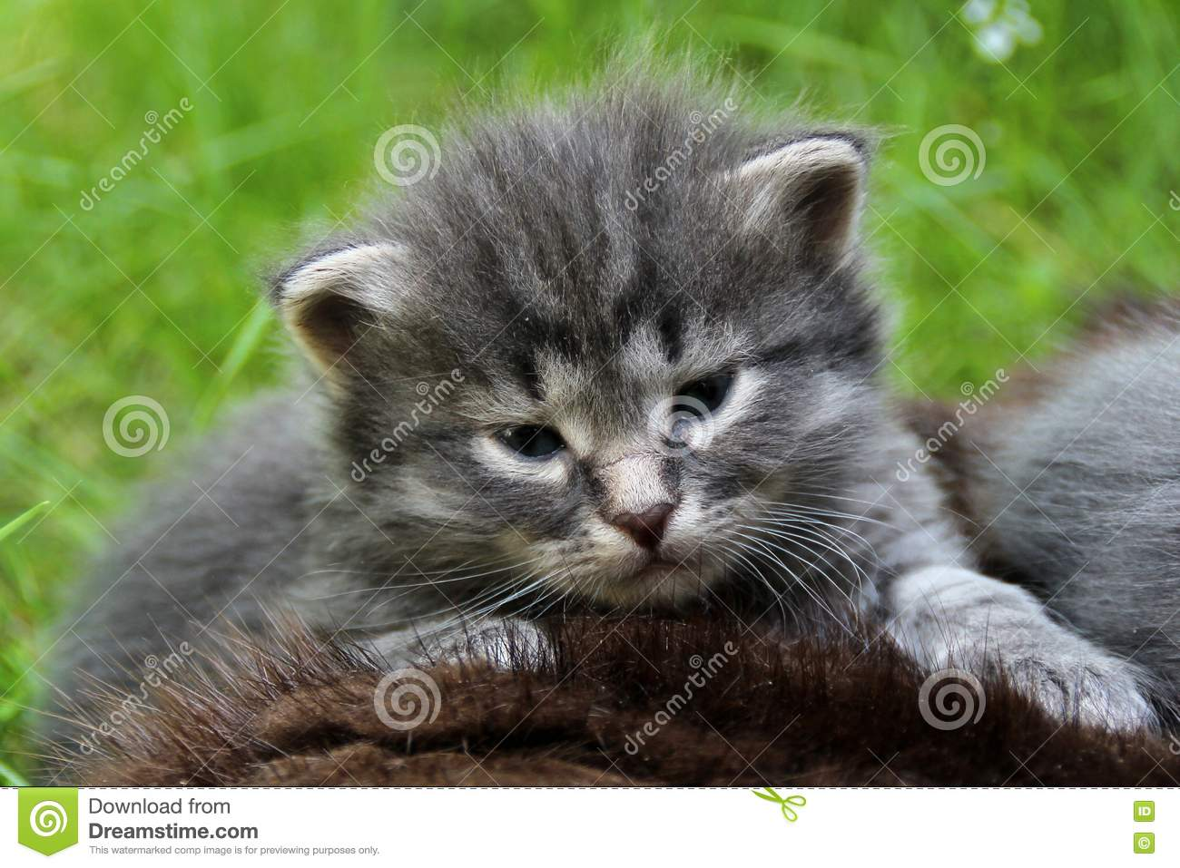 Cute Gray Kitten Falling Asleep In Fresh Air Stock Image