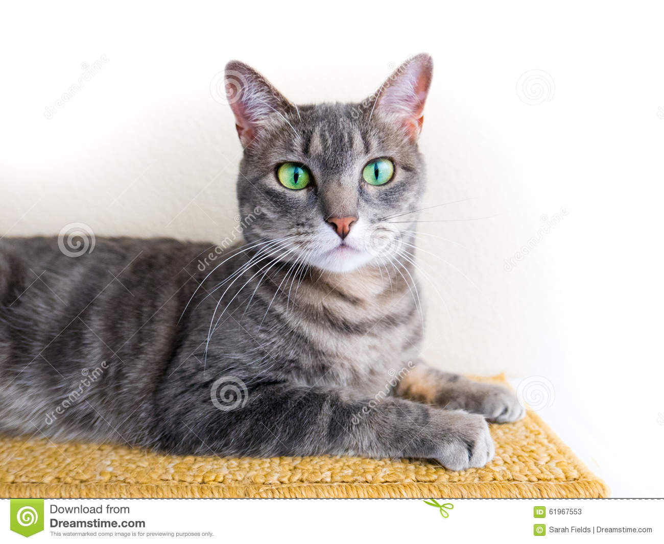 Cute Gray Tabby Cat With Green Eyes Stock Photo Image