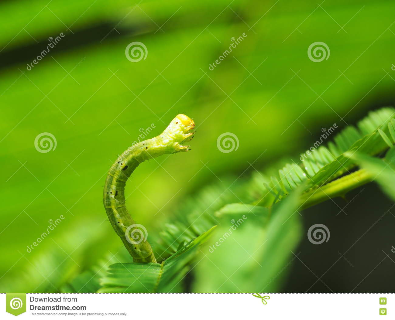 Cute Green Caterpillar Larva Worm In Nature Stock Image Image Of