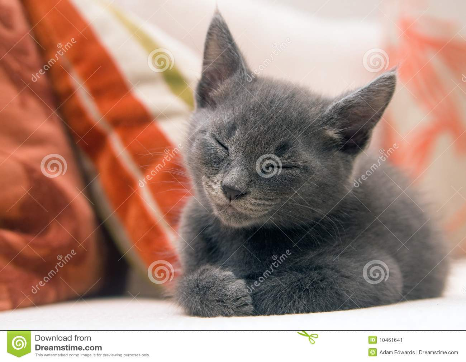 Cute Grey Kitten Asleep On A Sofa Stock Image Image
