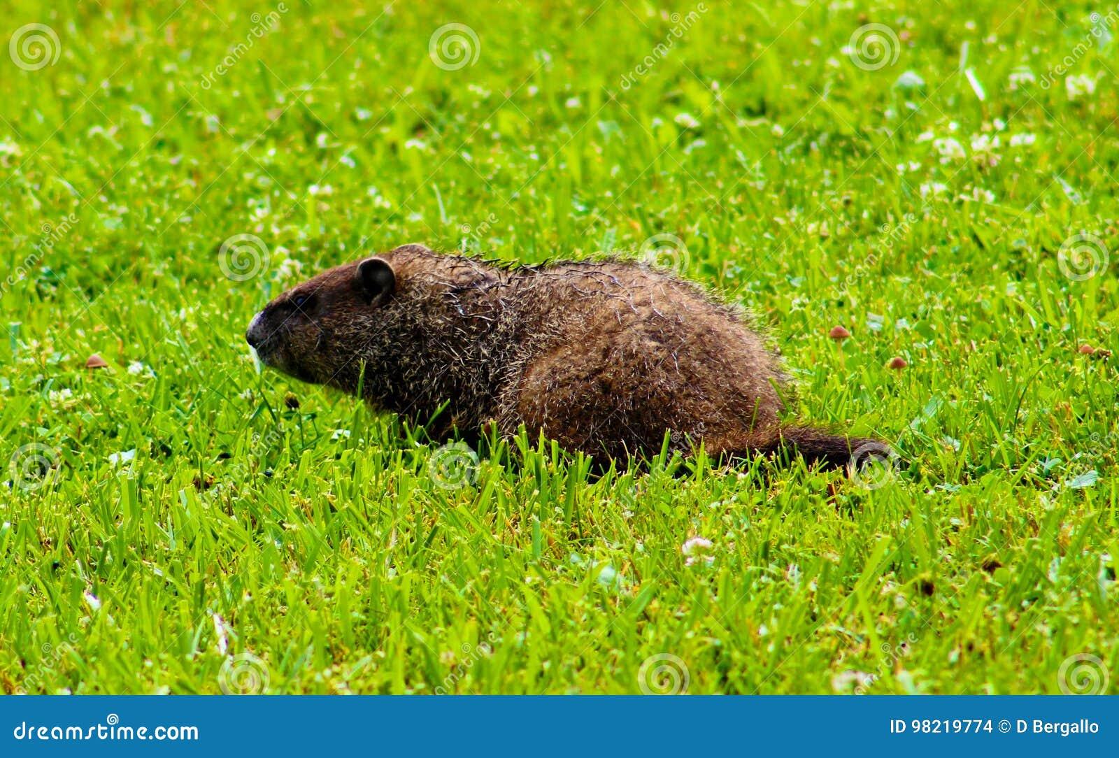 Cute Groundhog In My Backyard Stock Photo - Image of ...