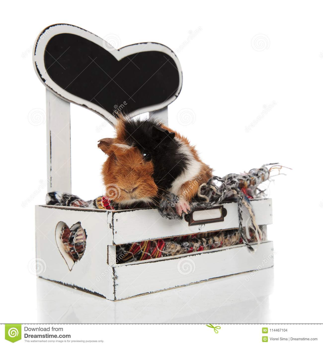 Picture of: Cute Guinea Pig Lies In Wooden Bed With Paws Hanging Stock Photo Image Of Little Blanket 114467104