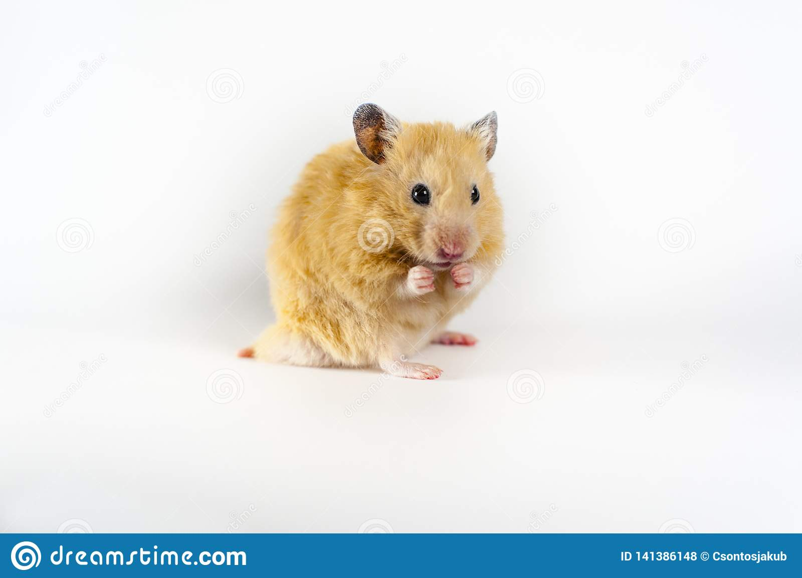 Cute hamster on white background