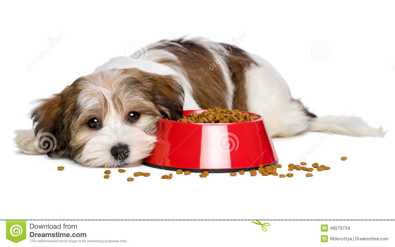 Cute Havanese Puppy Dog Is Lying Beside A Red Bowl Of Dog ...