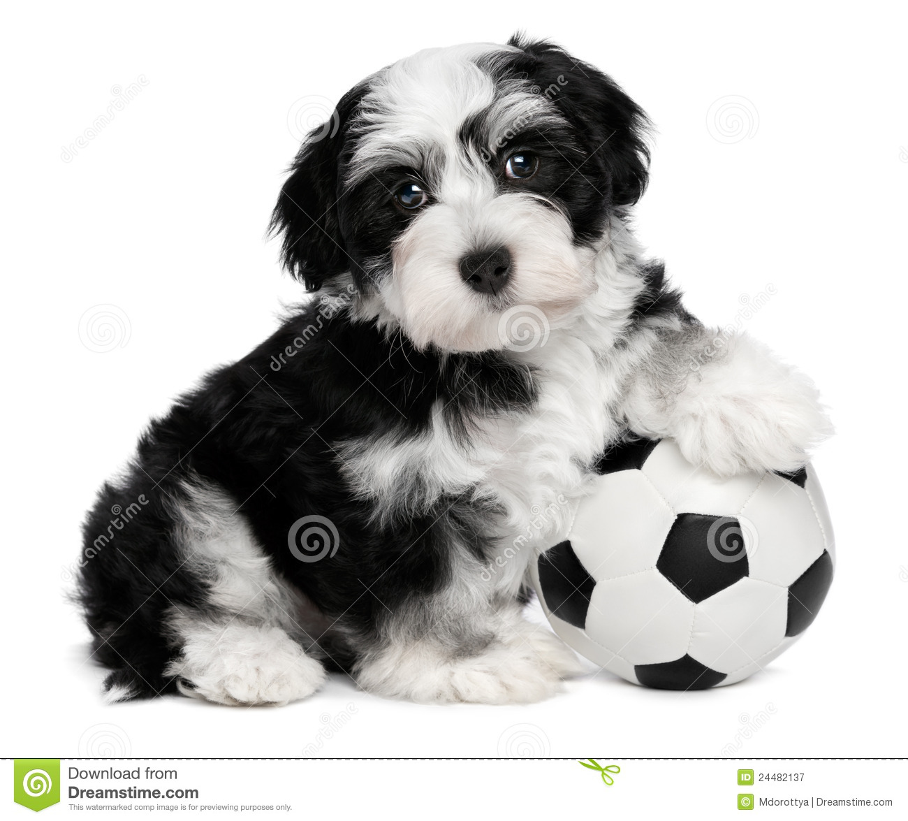 Simple Pitbull Anime Adorable Dog - cute-havanese-puppy-dog-soccer-ball-24482137  Graphic_132121  .jpg