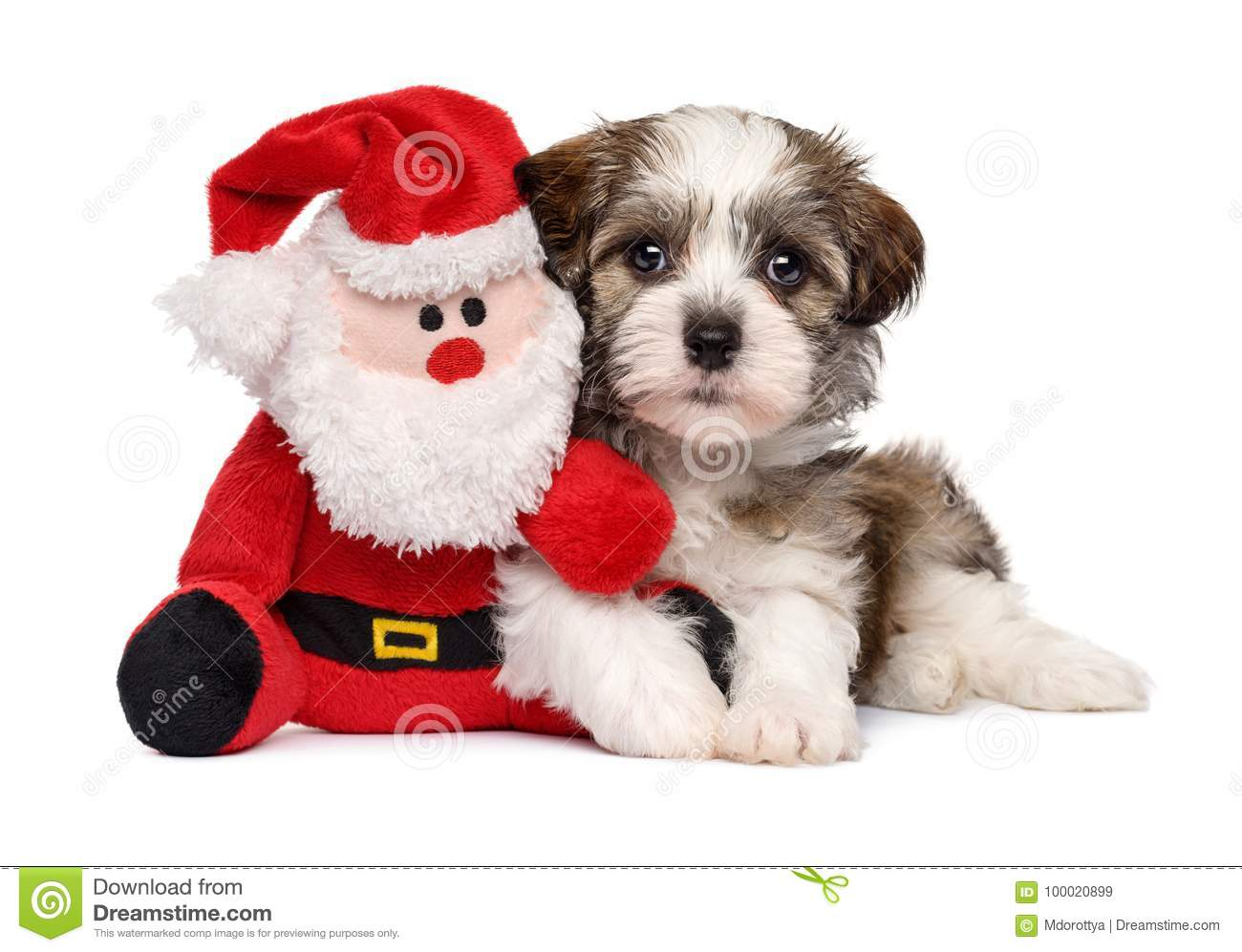 Download Cute Havanese Puppy With A Santa Plush Toy Stock Image - Image of lovely, looking: 100020899