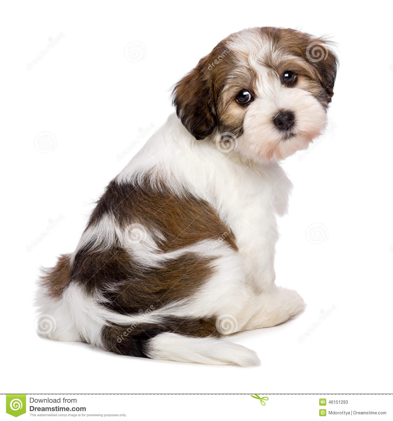 Puppy Dog Sitter Cute Havanese Puppy Is Sitting And Photographed From