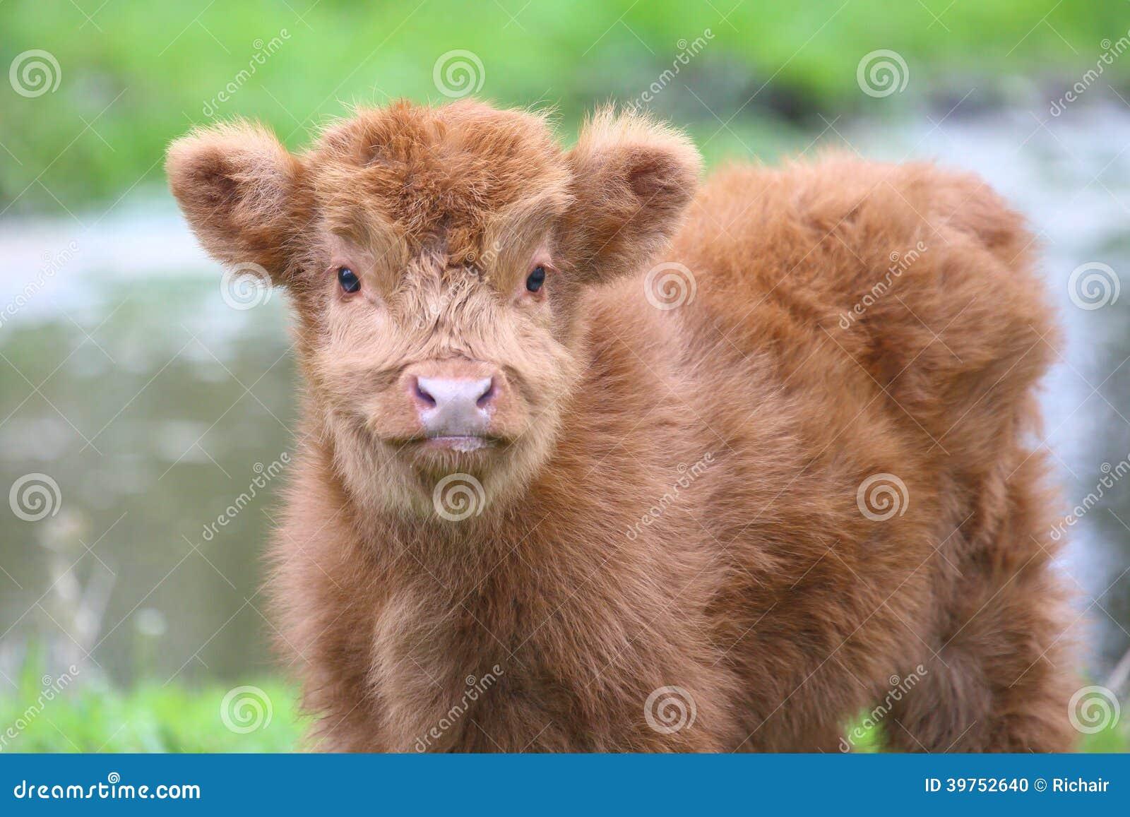 Cute Highland calf