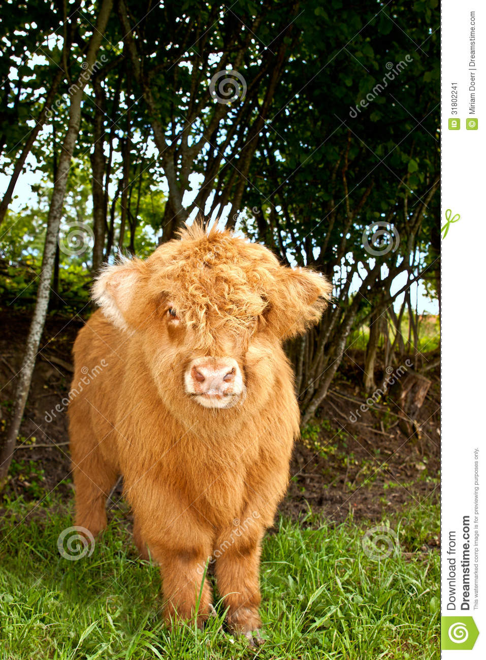 cute highland cattle calf stock image image 31802241