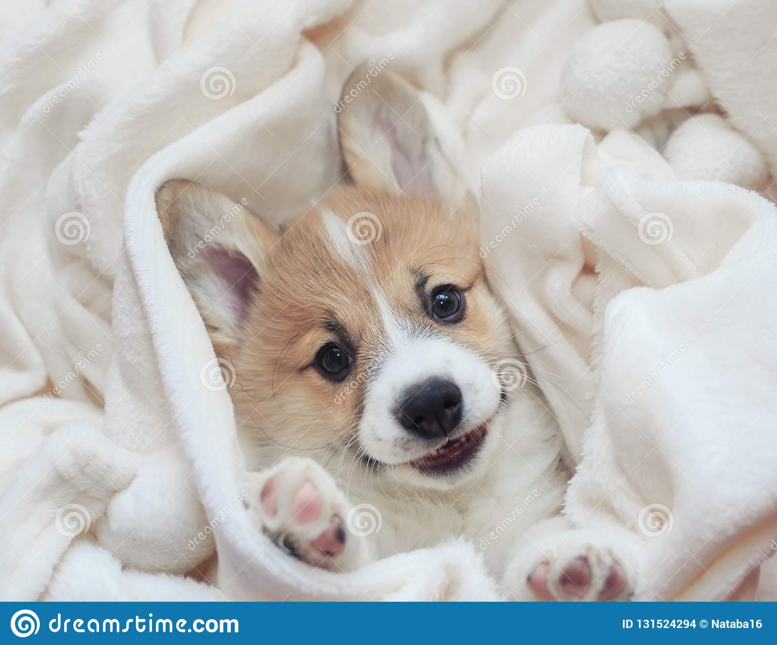 homemade corgi puppy lies in a white fluffy blanket funny sticking out his face and paws