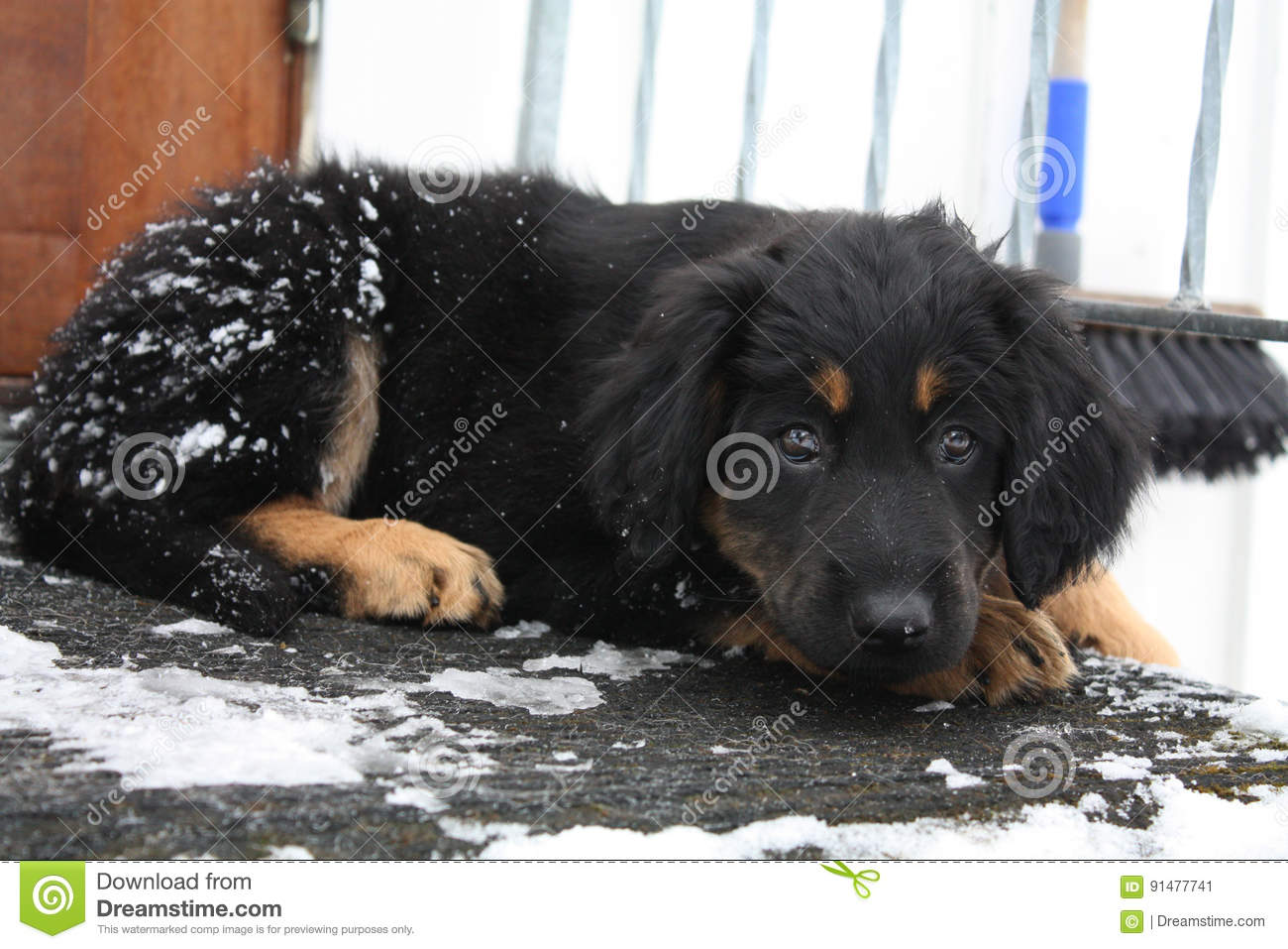 Cute hovawart puppy with bambi eyes