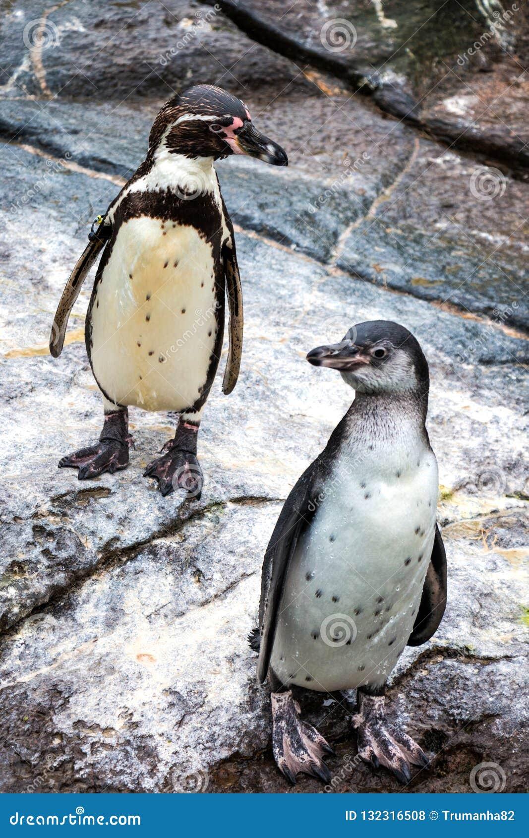 Cute Humboldt Penguins at Atlantic Sea Park in Alesund