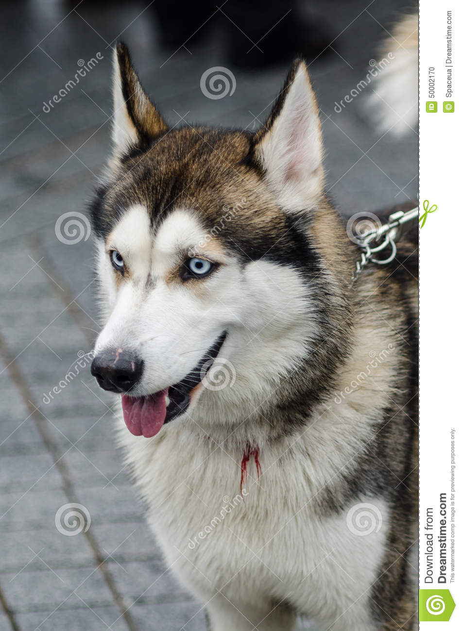 cute husky dog with blue eyes close up portrait stock