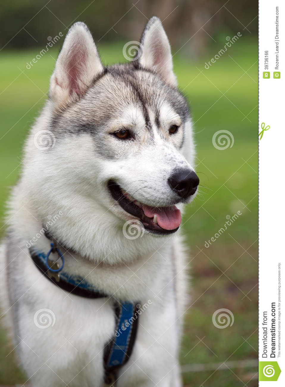 Cute husky dog stock photo. Image of mammal, pedigree ...