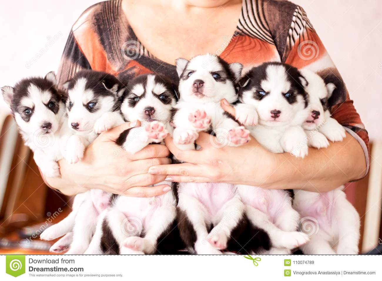 Cute Husky Puppies Many Puppies Stock Image Image Of Baby Breed