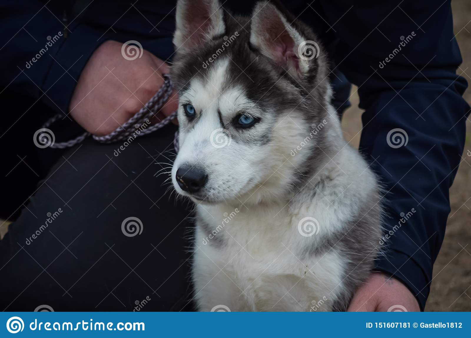 A Cute Husky Puppy With Blue Eyes Sits Next To The Master S Leg Looking Into The Distance The First Ever Dog Show Stock Image Image Of Breeds Glance 151607181