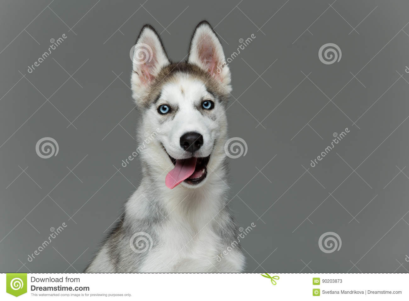Cute Husky Puppy Dog Stock Image Image Of Obedient Face 90203873