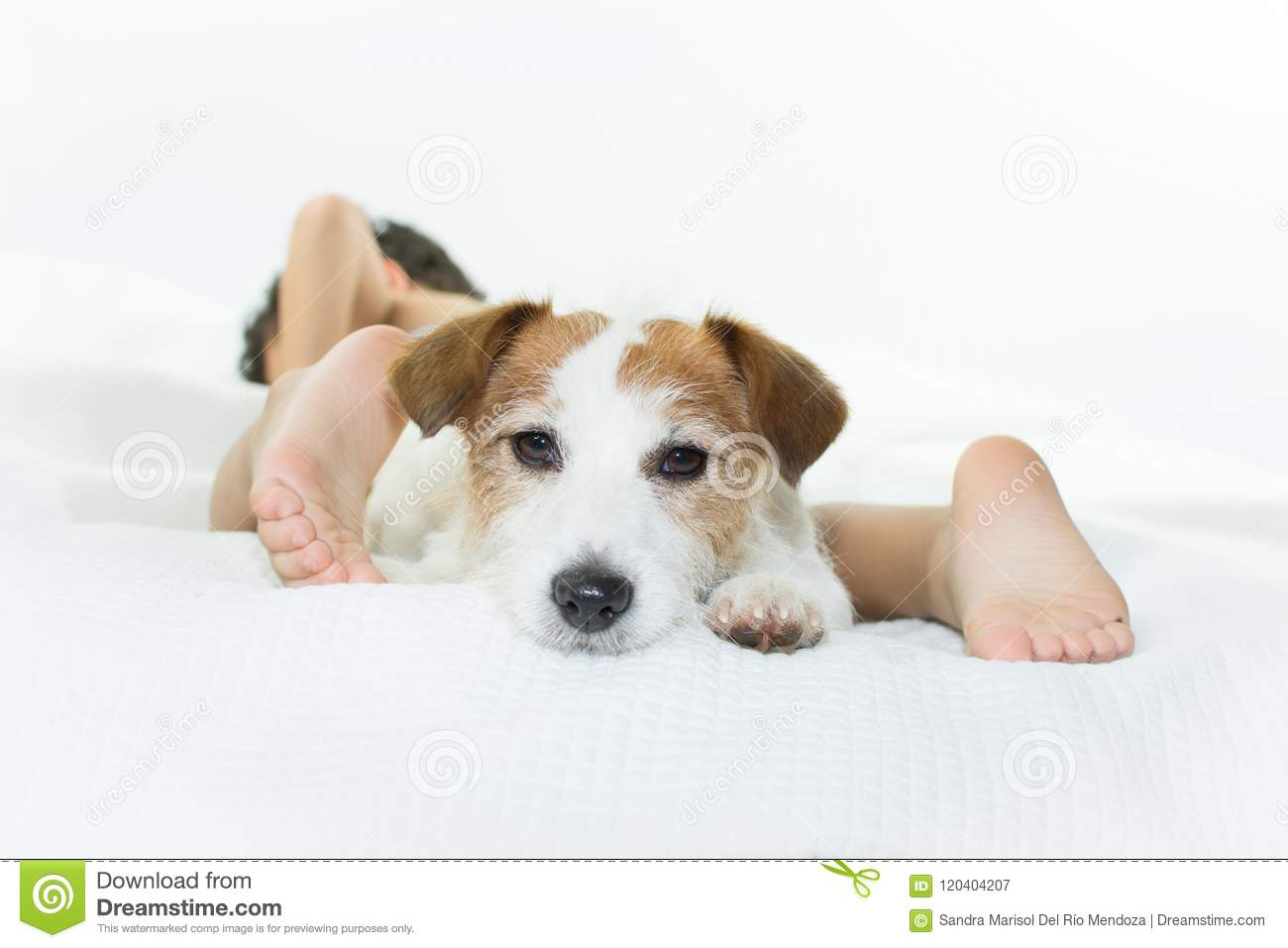 CUTE JACK RUSSELL DOG ON BED WITH ITS LITTLE CHILD OWNER ISOLATE