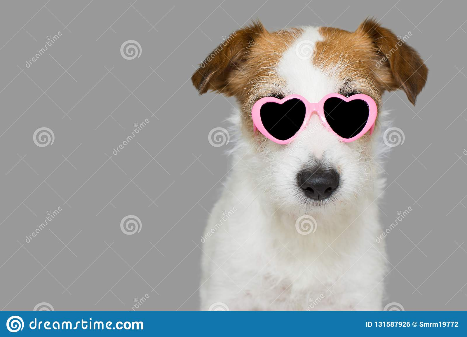 CUTE JACK RUSSELL DOG WEARING PINK EYE SUNGLASSES WITH HEART SHAPE. ISOLATED AGAINST GRAY BACKGROUND
