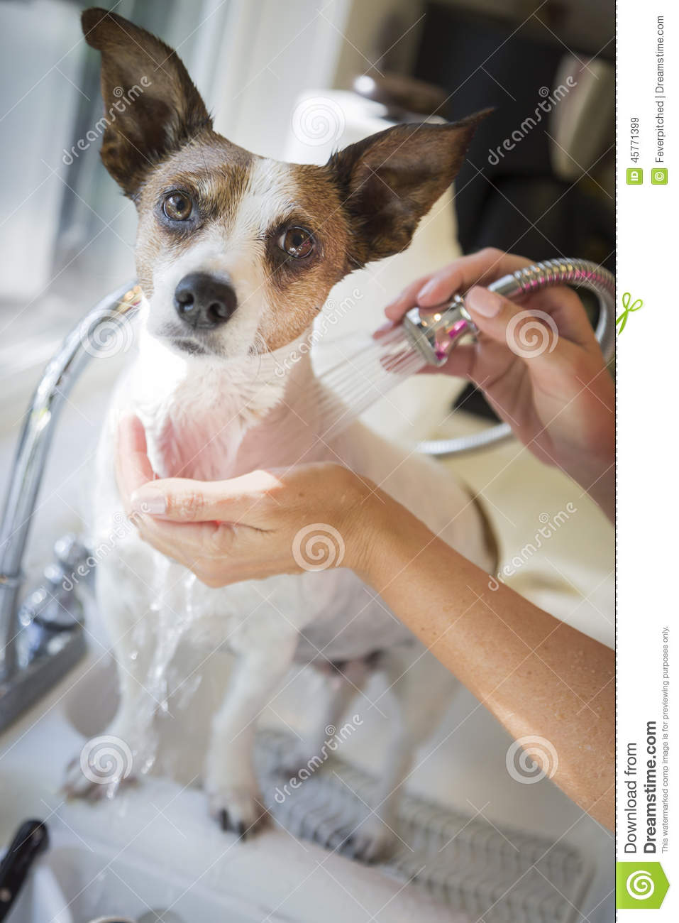 Cute Jack Russell Terrier Getting A Bath In The Sink Stock