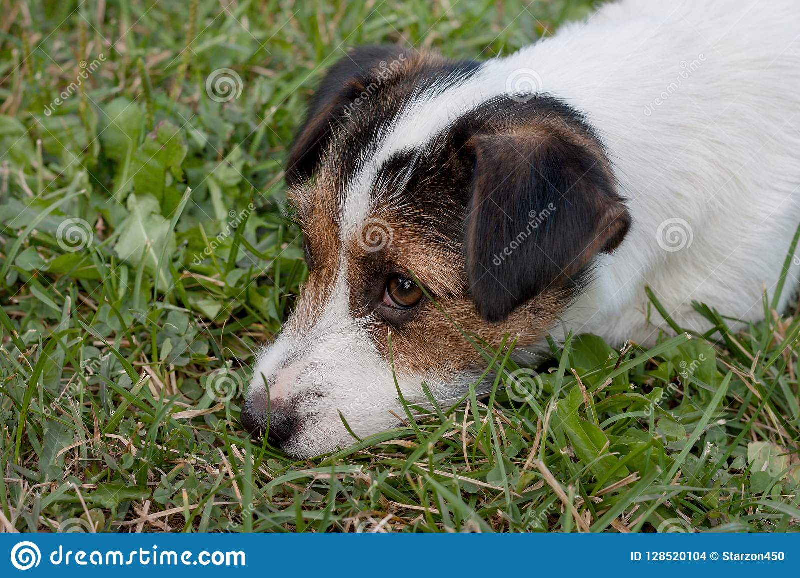 Cute jack russell terrier puppy with hazel eyes close up. Pet animals.