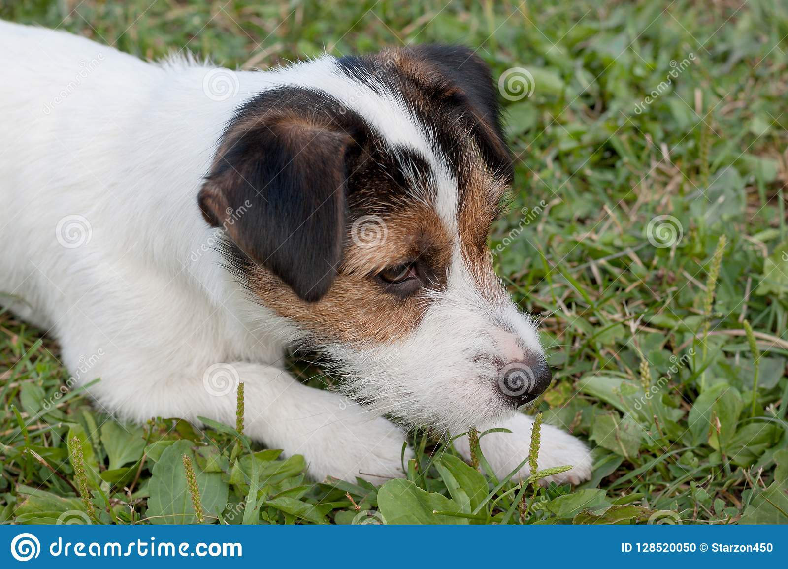Cute jack russell terrier puppy with hazel eyes. Pet animals.