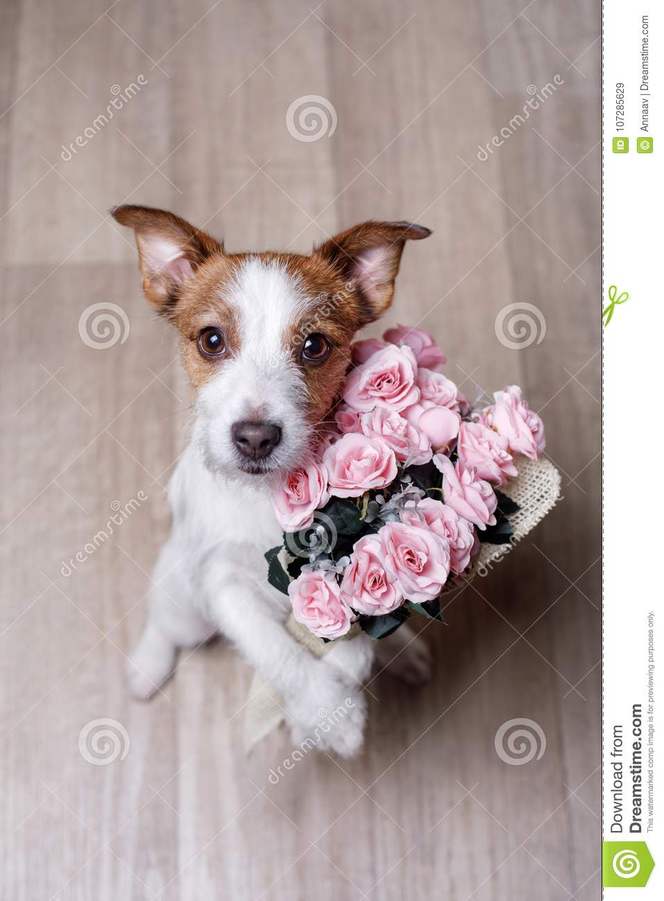 Cute Jack Russell Terrier. Valentine`s day.