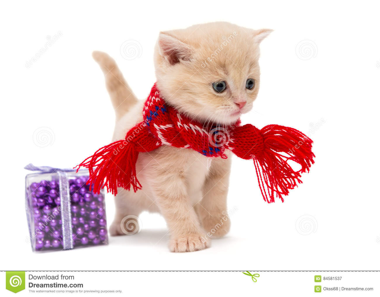 Cute kitten breeds British stock image Image of pets