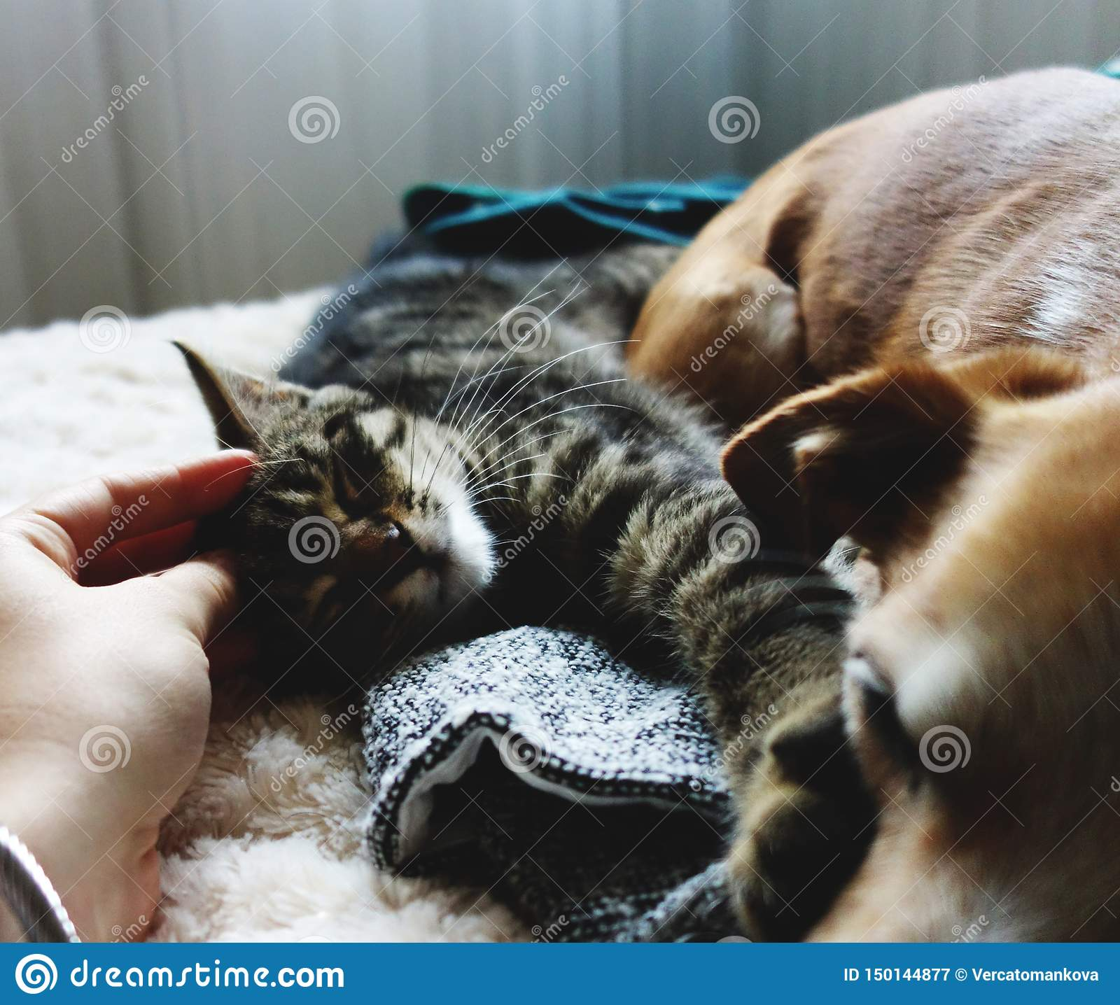 Relaxed dog and cat on sofa being petted.