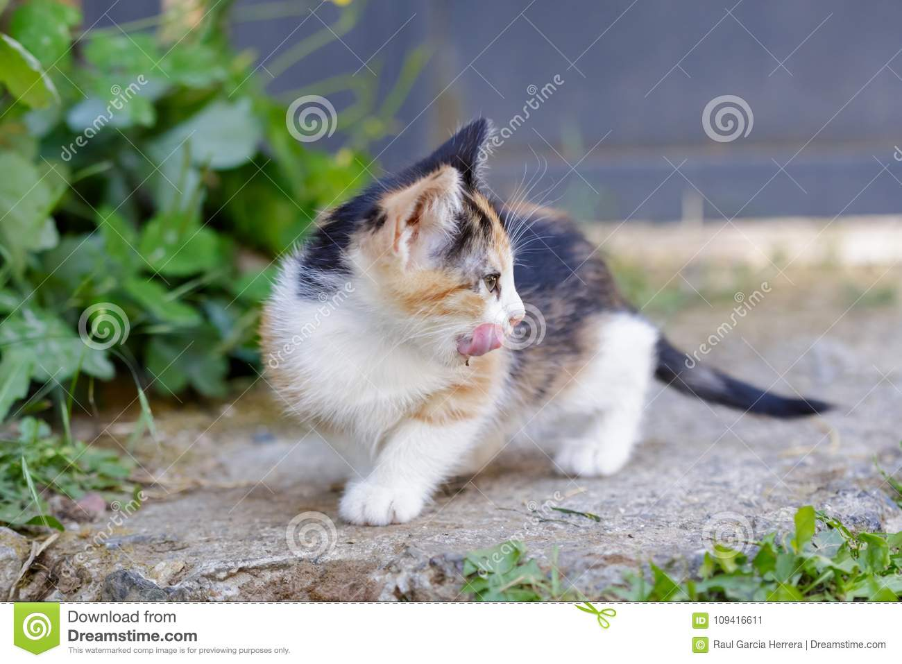 Cute Kitten licking her face outdoor at Summer. Small Cat Sitting In Grass.