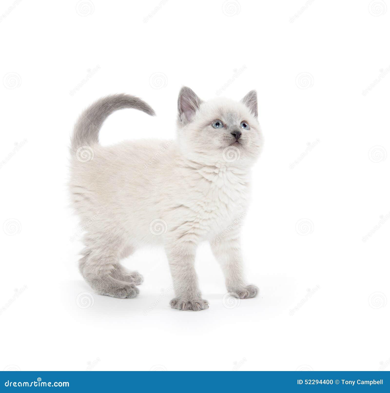 blue lynx point cat