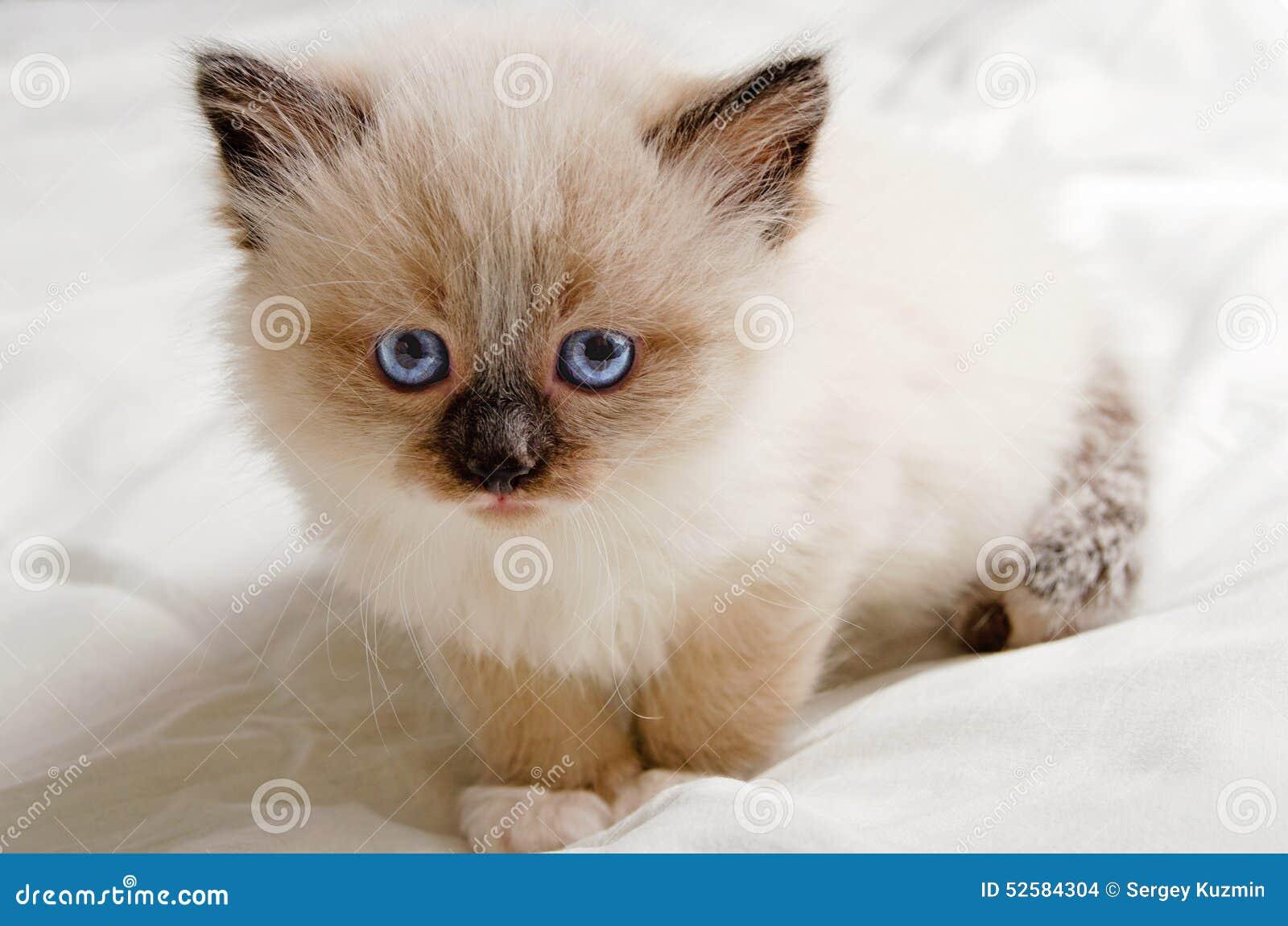 russian blue kitten for adoption