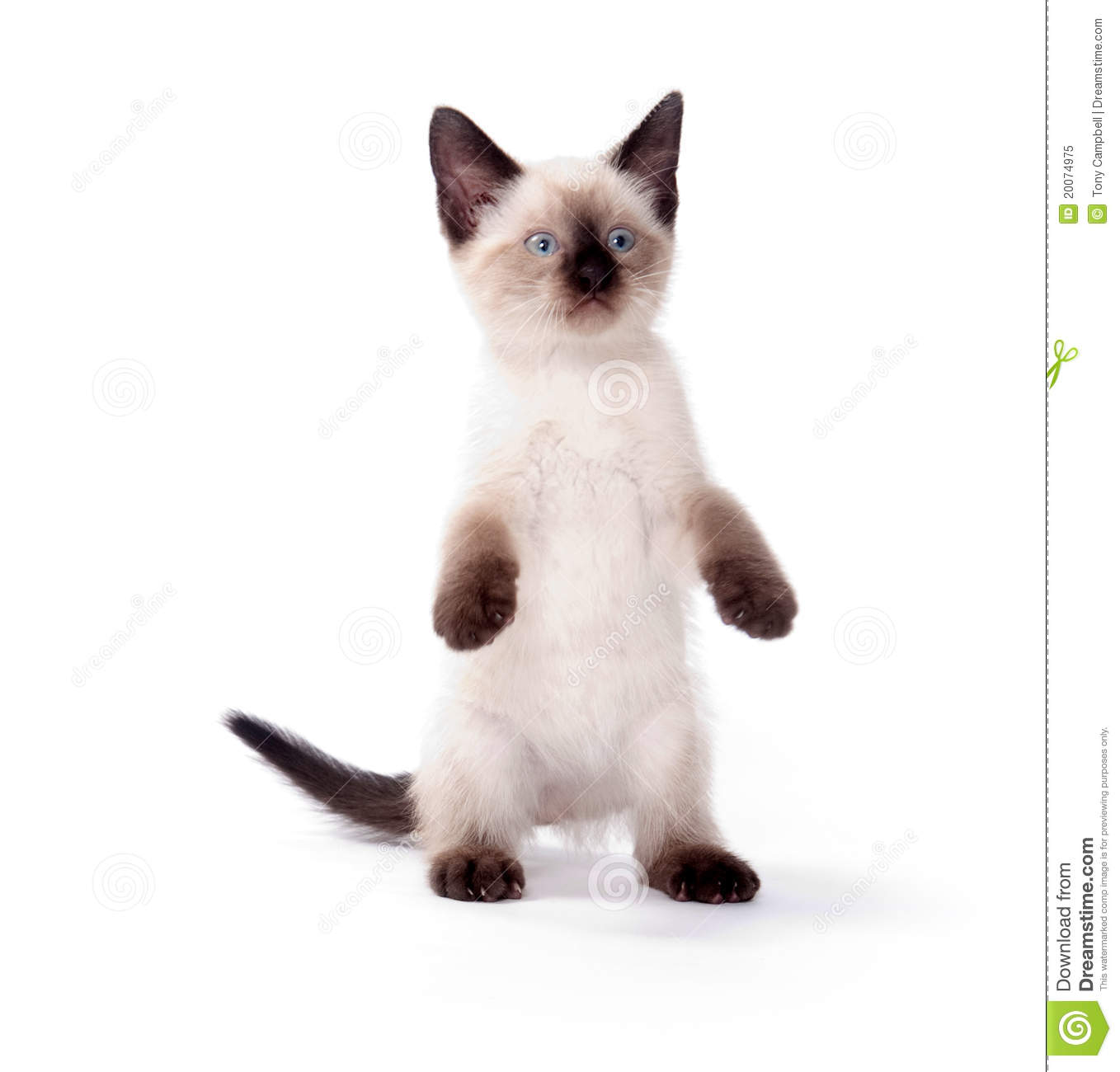 cute kitten on white background royalty free stock photo