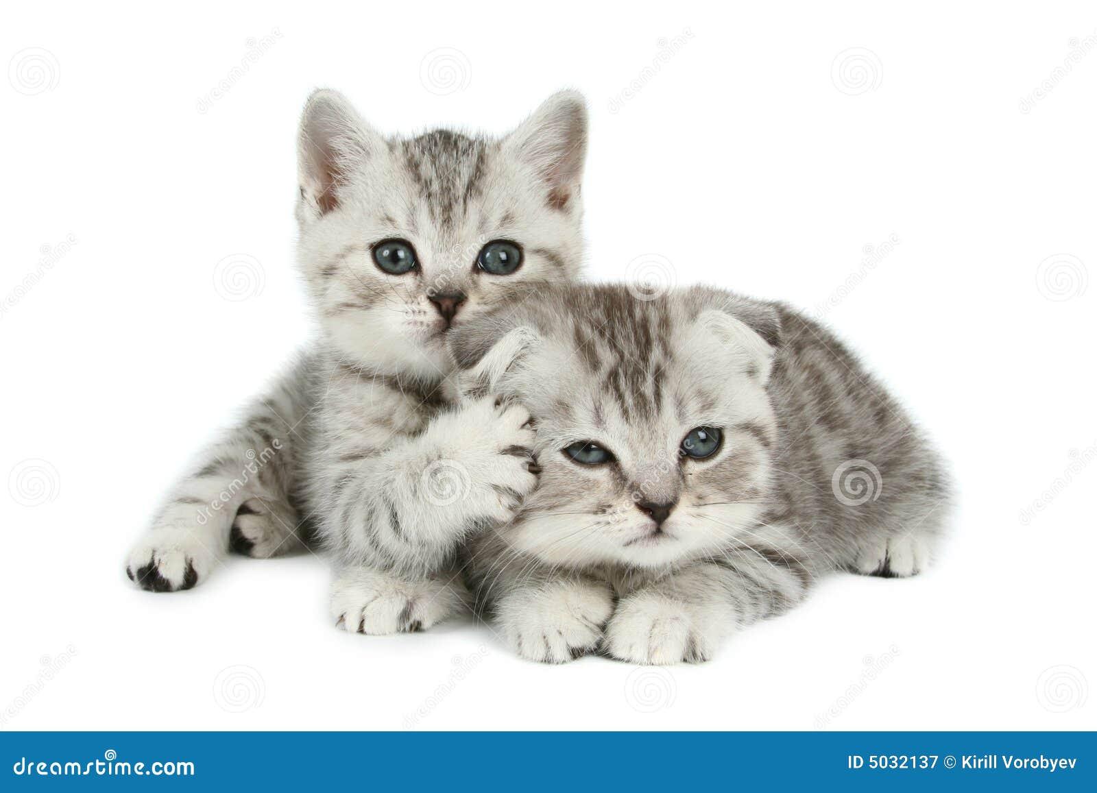 Cute Kittens... White Persian Kitten