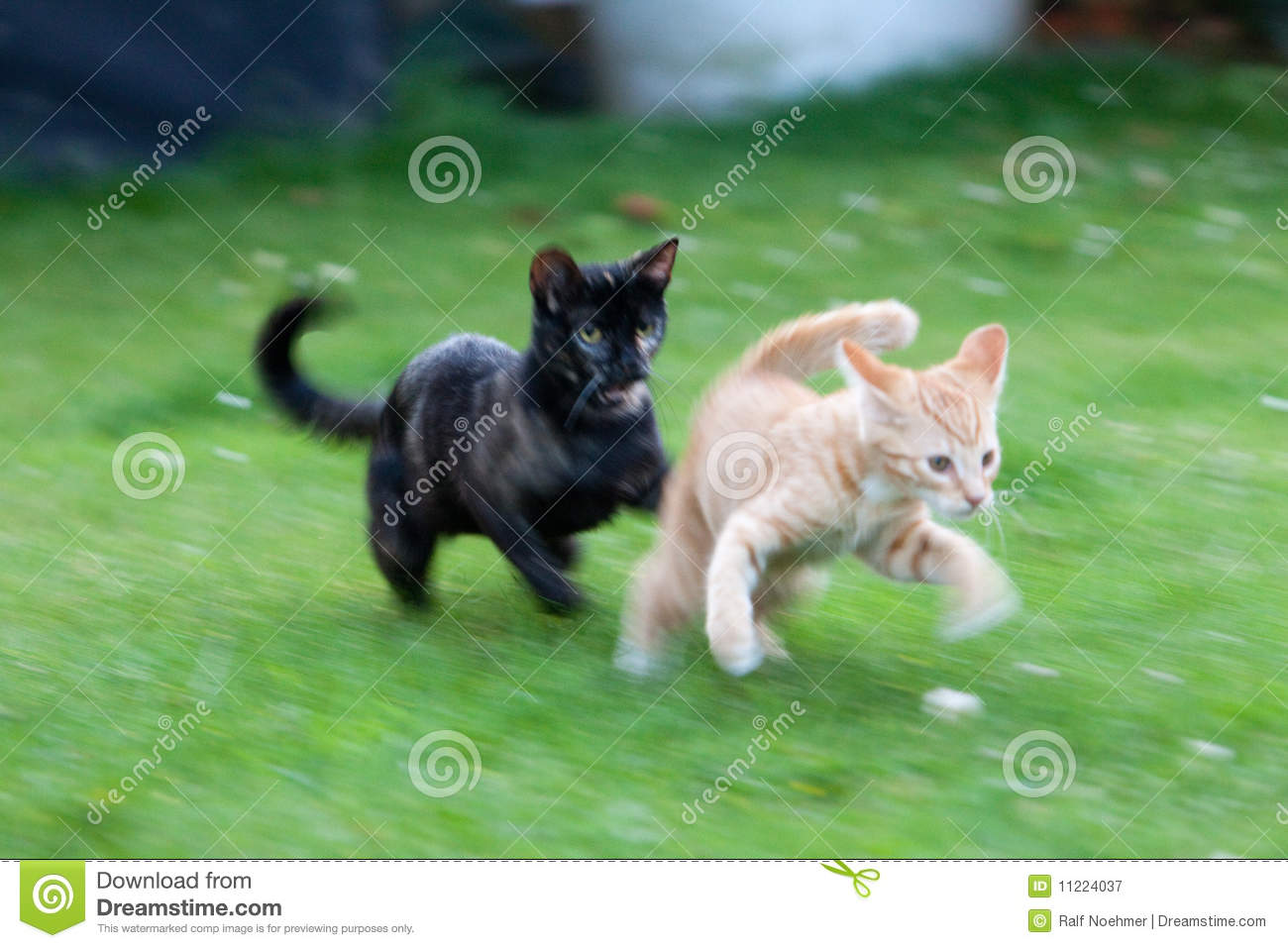 Cute kittens playing stock image Image of chasing playful