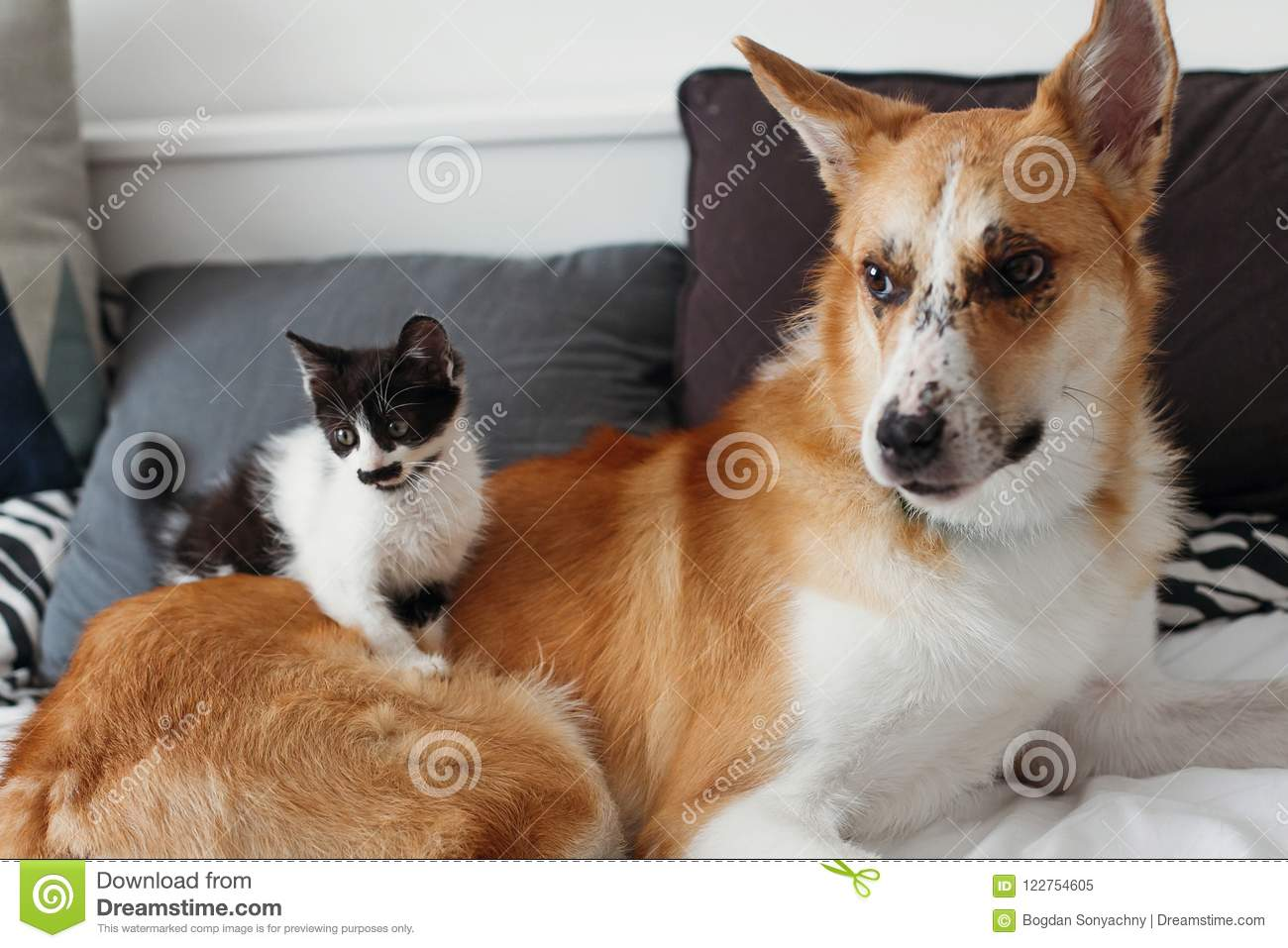 Cute kitty and golden dog playing on bed with pillows in stylish