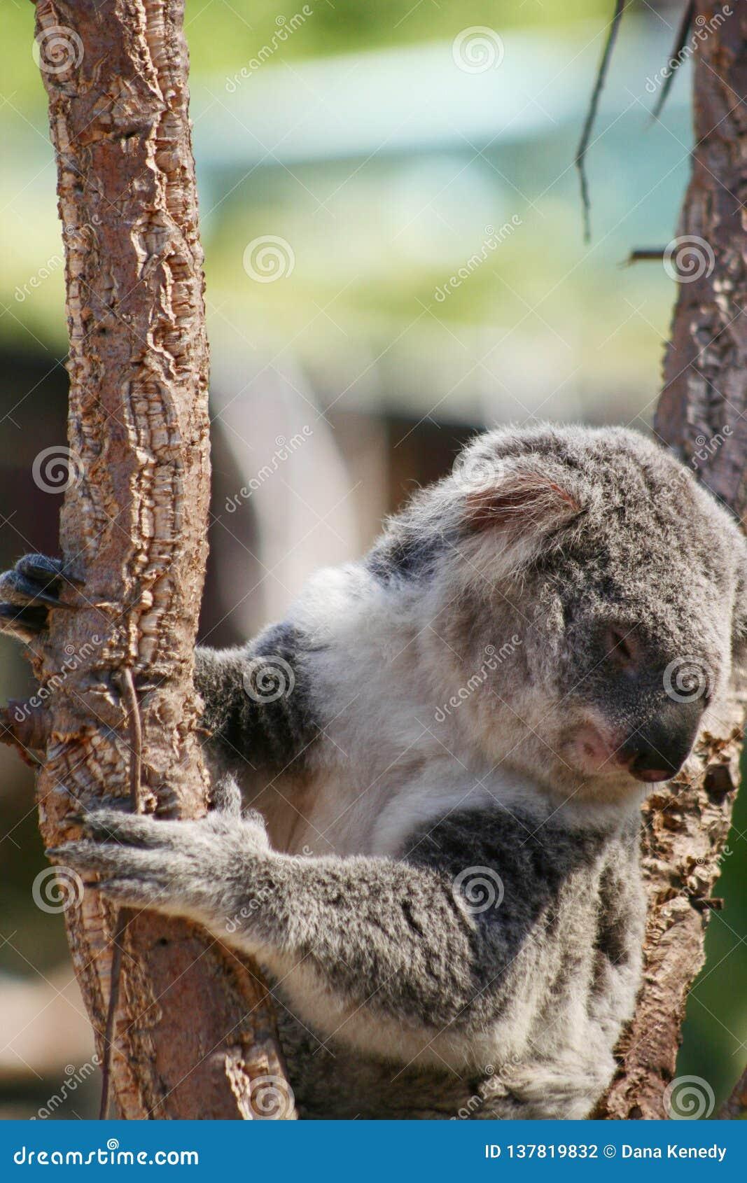 Cute Koala bear sitting on tree branch