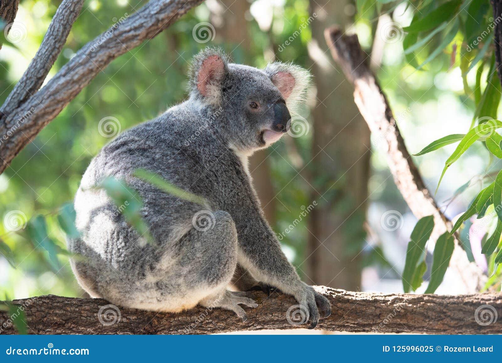 Cute koala on a branch