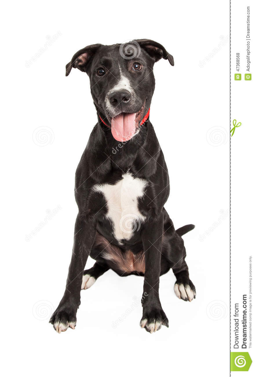 Lab Retriever Breed Mix Dog With Short Hight