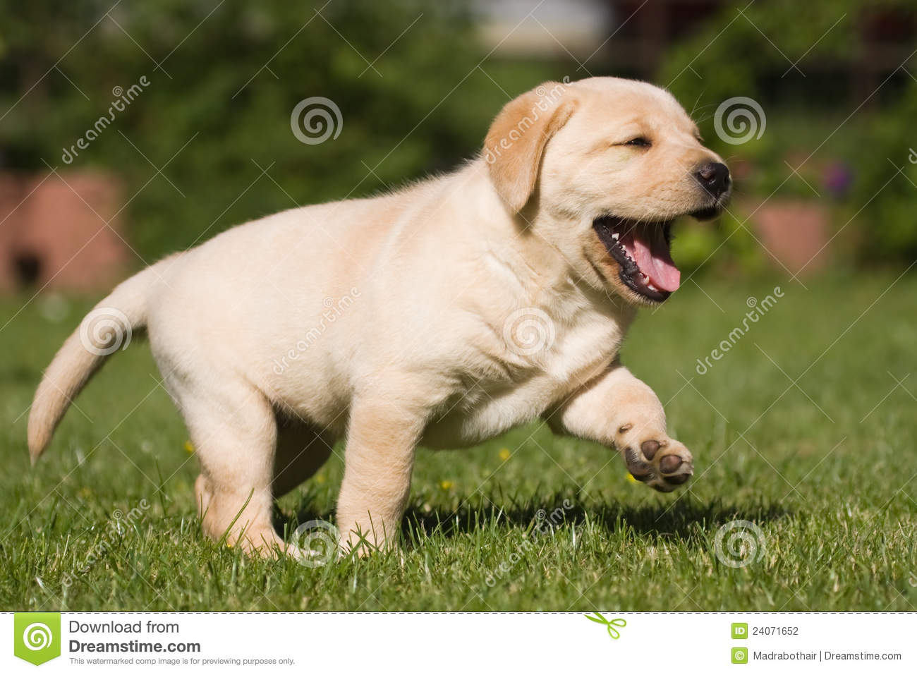 Cute labrador puppy stock photo. Image of bark, grass - 24071652 for Cute Lab Dog Puppy  568zmd