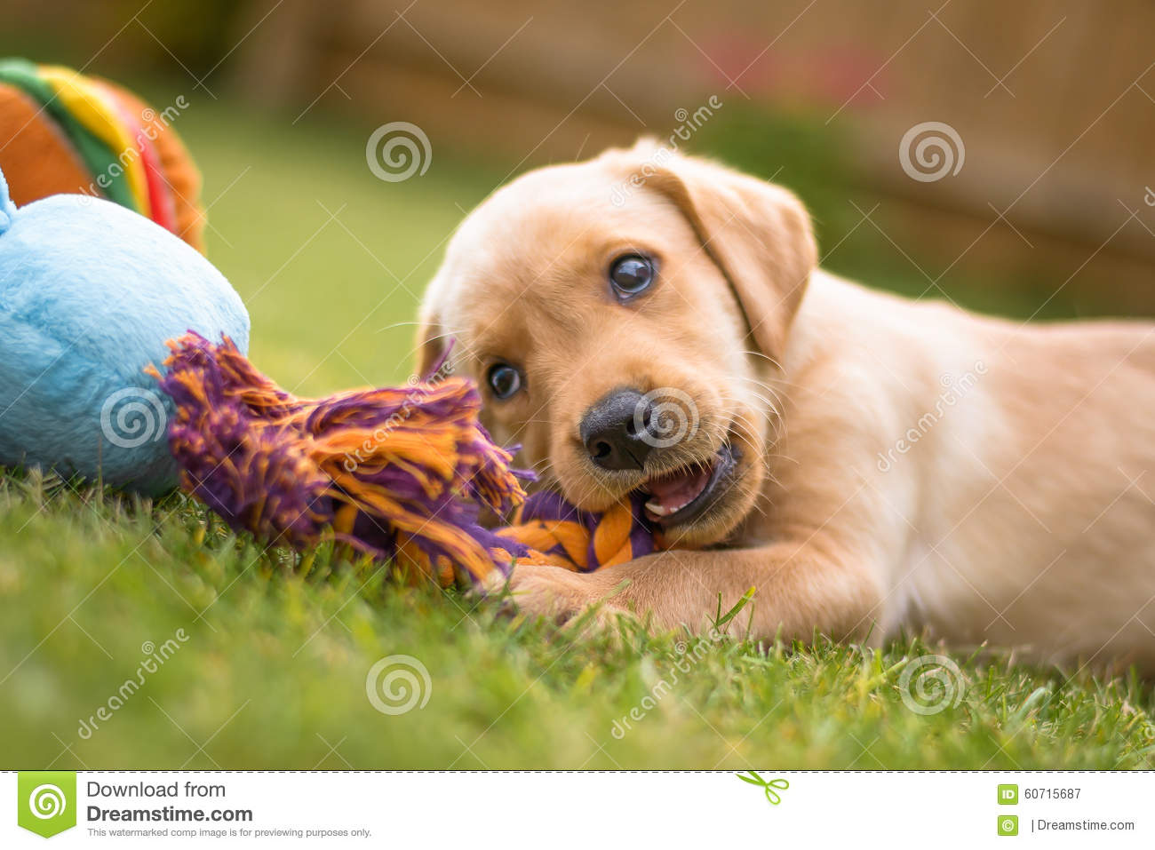 Cute Labrador puppy chewing toy