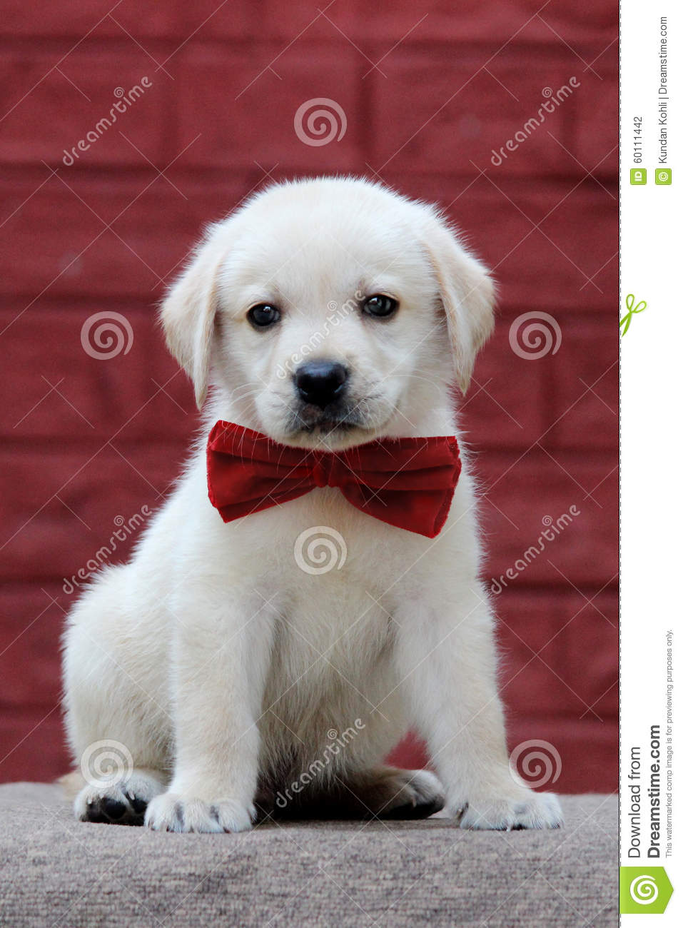 Download Wallpaper Bow Adorable Dog - cute-labrador-puppy-wearing-red-bow-60111442  Collection_19649  .jpg