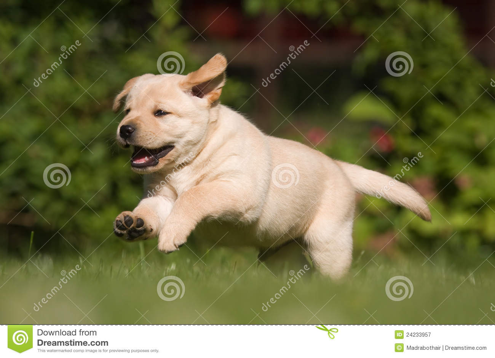 how to buy a labrador puppy
