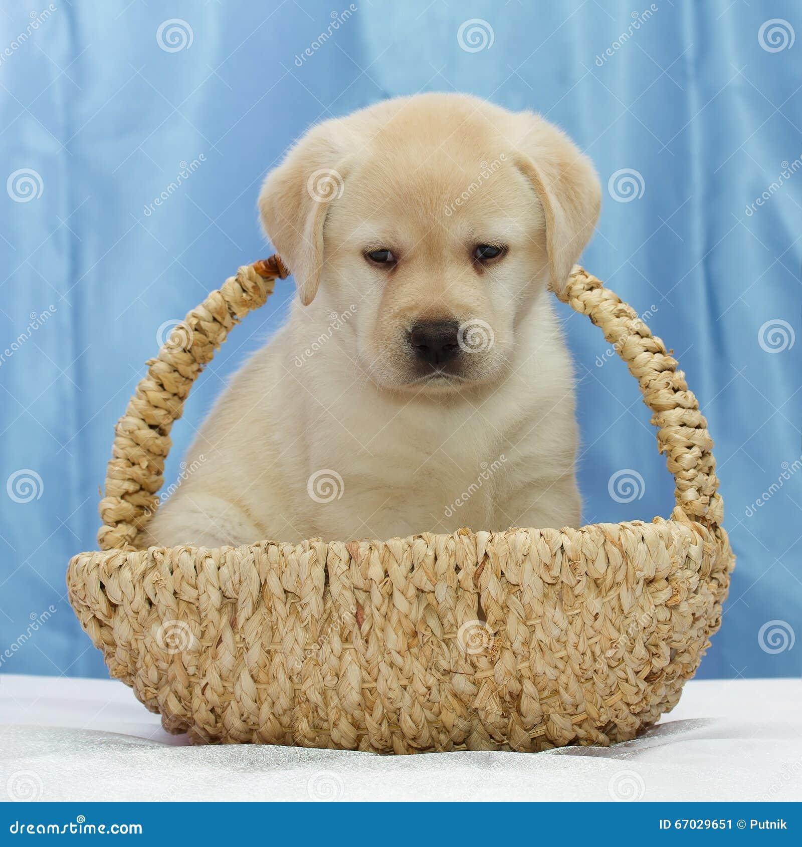 Cute Labrador Retriever Puppy. Stock Image - Image: 67029651 for Cute Lab Dog Puppy  173lyp