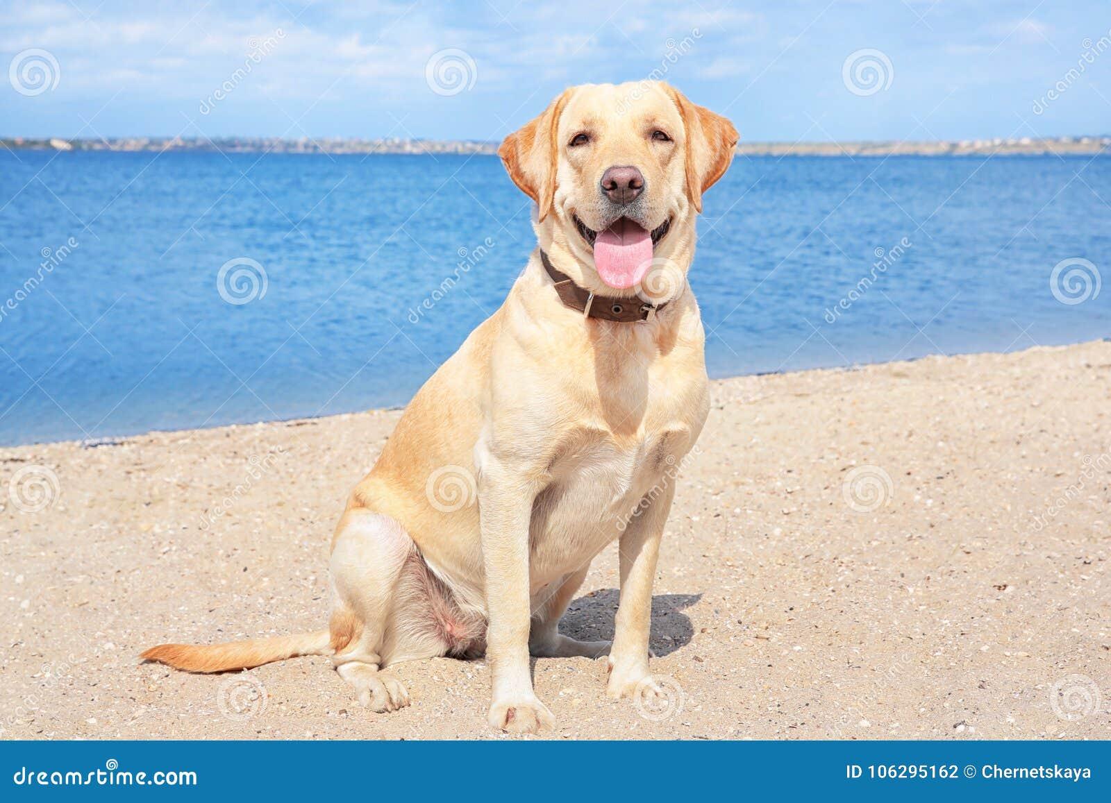 Cute Labrador Retriever on sandy river