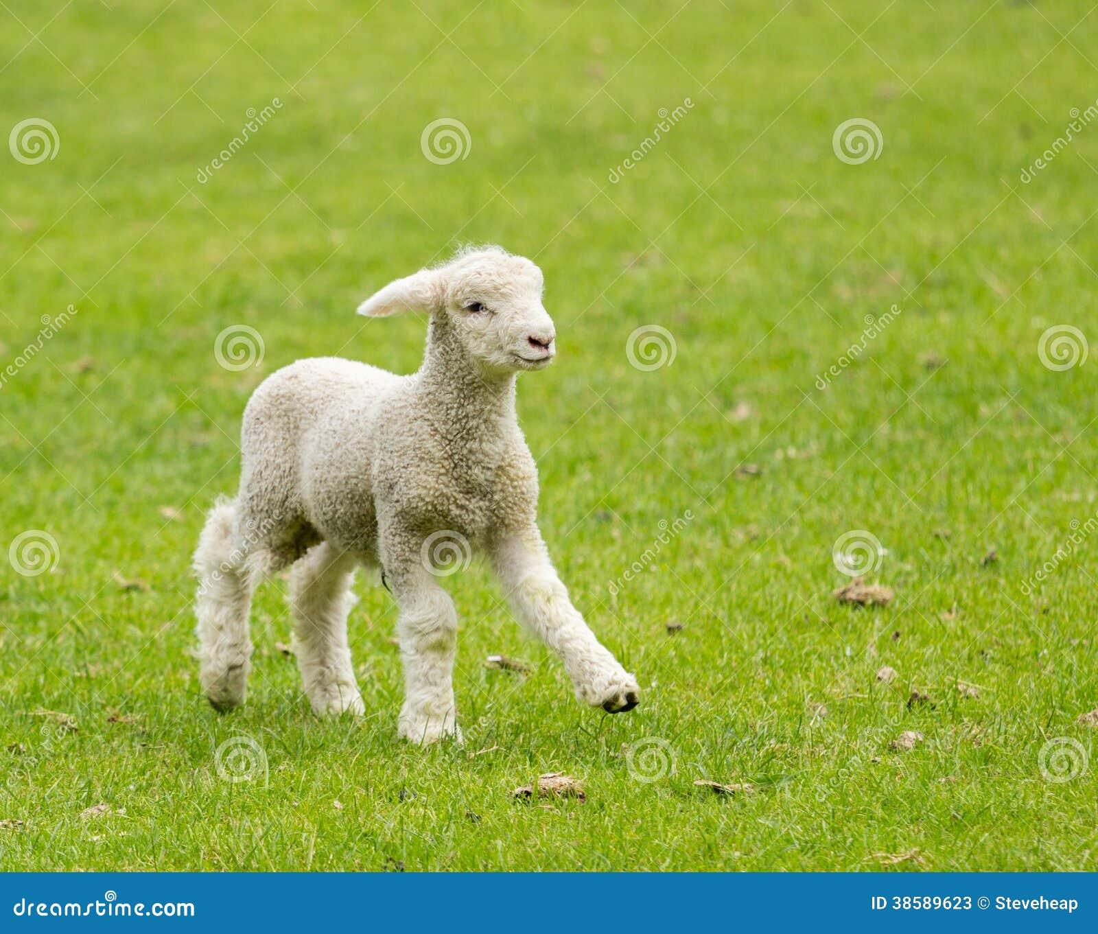 Cute lamb in meadow in New Zealand