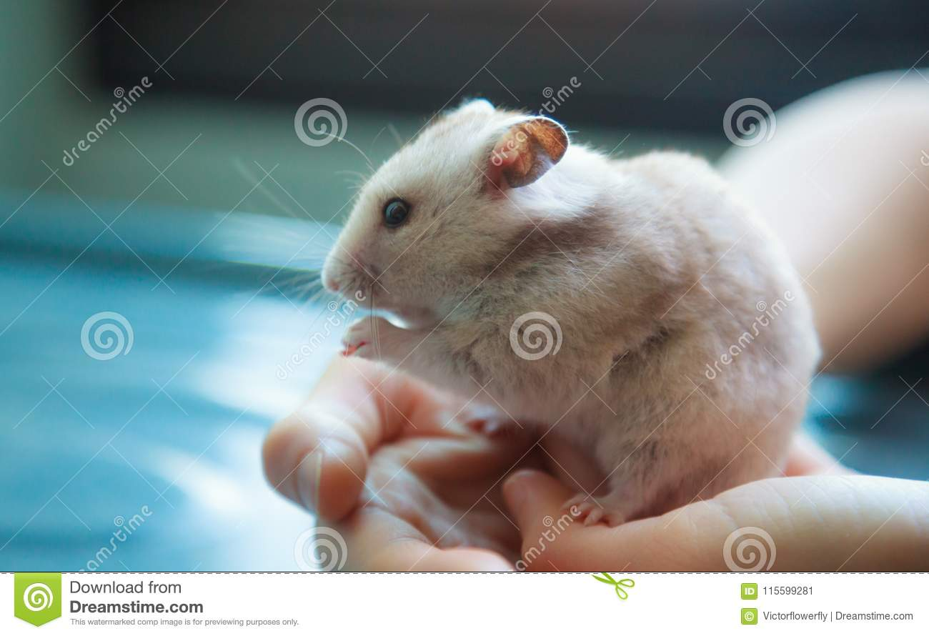 Cute light brown Syrian or Golden Hamster Mesocricetus auratus eating pet food. Taking Care, Mercy, Domestic Pet Animal Concept
